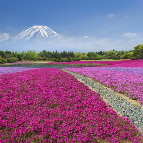 Japan flower fields with MT Fuji in background