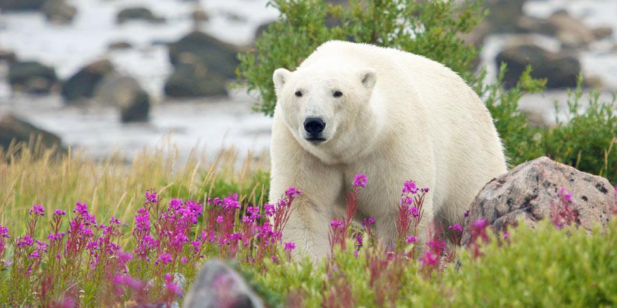 Polar Bears Of Canada Lowcostdeals Co Uk