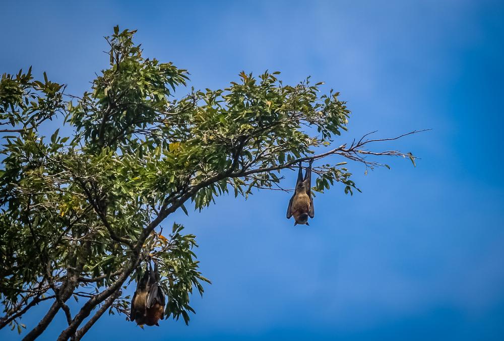 fruit bat hanging from tree