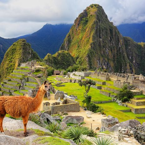 Alpaca overlooking Machu Picchu
