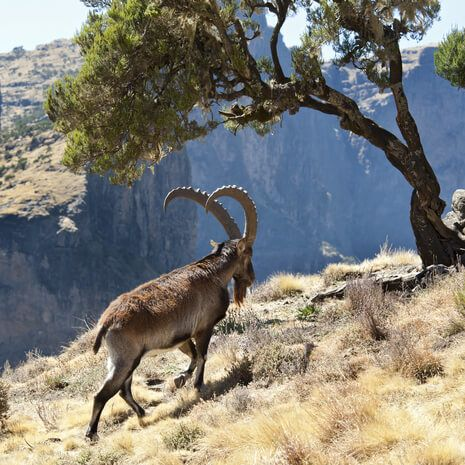 Walia Ibex goat in Ethiopia