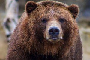 Brown bear staring at Camera