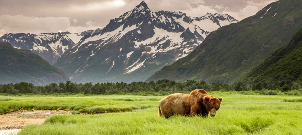 Grizzly Bear with Mountain backdrop