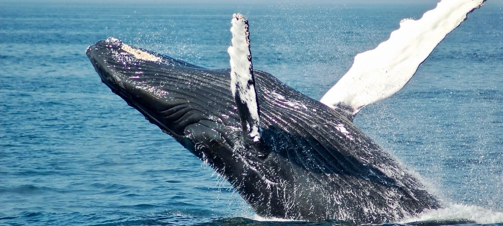 Adult Whale breaching the water surface